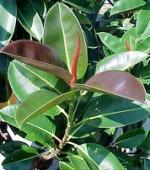 観賞植物 ゴムの木